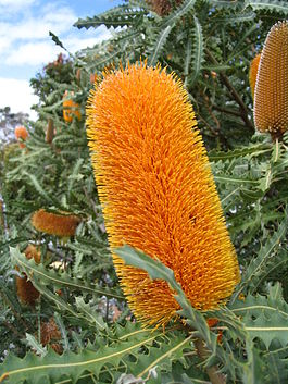 Ashby's Banksia inflorescence in Kings Park.jpg