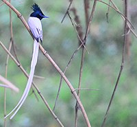 AsianParadiseFlycatcher White.JPG