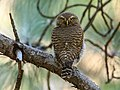 Asian Barred Owlet (Glaucidium cuculoides) (42901530094).jpg