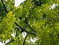 Asian Emerald Cuckoo (26546012463).jpg