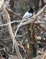 Asian Paradise Flycatcher Terpsiphone paradisi male by Dr. Raju Kasambe DSCN9956 (7).jpg