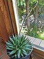 Asparagales - Agave filifera - 3.jpg