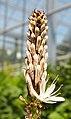 Asphodelus albus 2.jpg