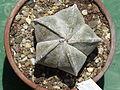 Astrophytum coahuilense 4.JPG