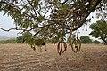 Atakora-Parkia biglobosa (2).jpg