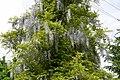 Atlas roslin pl Glicynia japońska 2575 8230.jpg