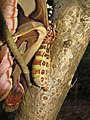 Attacus atlas - Atlas moth at Peravoor 2017 (27).jpg