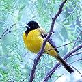 Audubon's Oriole (26046829621).jpg