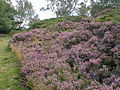 August Heather - geograph.org.uk - 297974.jpg