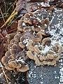 Auricularia mesenterica 108884470.jpg