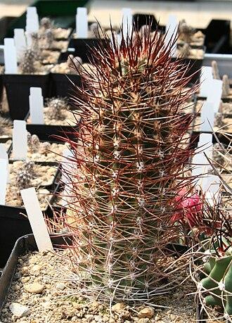 Austrocactus - Image: Austrocactus spec