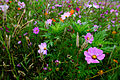 Autumn-flower-field-pink-flower - Virginia - ForestWander.jpg