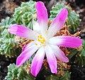 Aztekium valdezii flower.jpg
