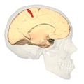 BA312 - Primary Somatosensory Cortex - medial view.png