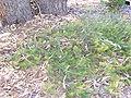 B telmatiaea 08 gnangarra.jpg