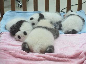 Giant panda - Panda cubs