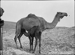 Baby camel sucking LOC matpc.17168.jpg