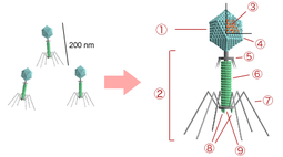 Bacteriophage structure.png