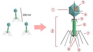 Opbygningen af bakteriofag t4. 1. hoved 2. hale 3. arvemateriale