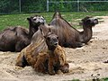 Bactrian Camels 3 (9112307332).jpg
