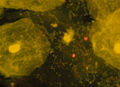 Bakterien26331a.jpg