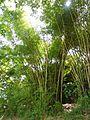Bambusa vulgaris Schrad. ex J.C.Wendl. - La Lagunita 2013 005.jpg