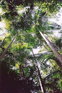 Bangalow Palm (Archontophoenix cunninghamiana) im Middle-Brother-Nationalpark