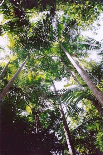 Middle Brother National Park - Bangalow Palm forest at Middle Brother National Park
