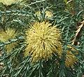 Banksia polycephala.jpg