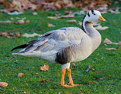 Stripegås i St James's Park, London Foto: David Iliff