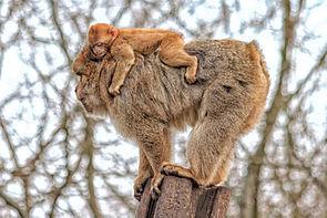 Berberaffe mit Jungkind
