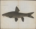 Barbus vulgaris - 1778-1786 - Print - Iconographia Zoologica - Special Collections University of Amsterdam - UBA01 IZ15000106.tif