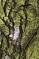 Bark of Chestnut tree.jpg