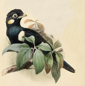 Sulawesi myna - Image: Basilornis celebensis from Ibis 1861