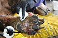 Bear 1 second treatment burn 7 (38942271655).jpg