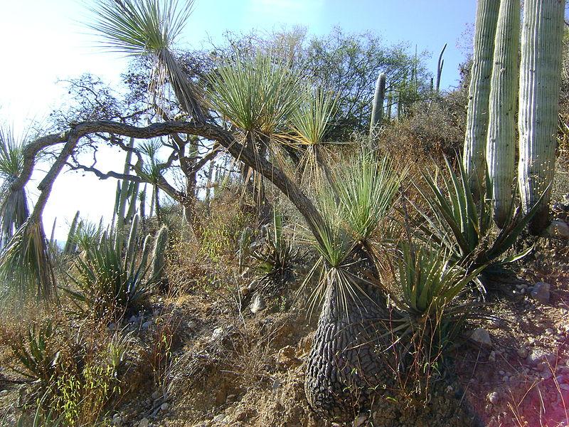 File:Beaucarnea gracilis (5754251624).jpg