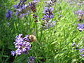 Bee at bard college garden.jpg