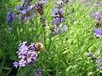 Bee at bard college garden.jpg