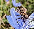 Bee close up (29224914512).jpg