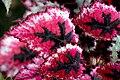 Begonia (9).jpg