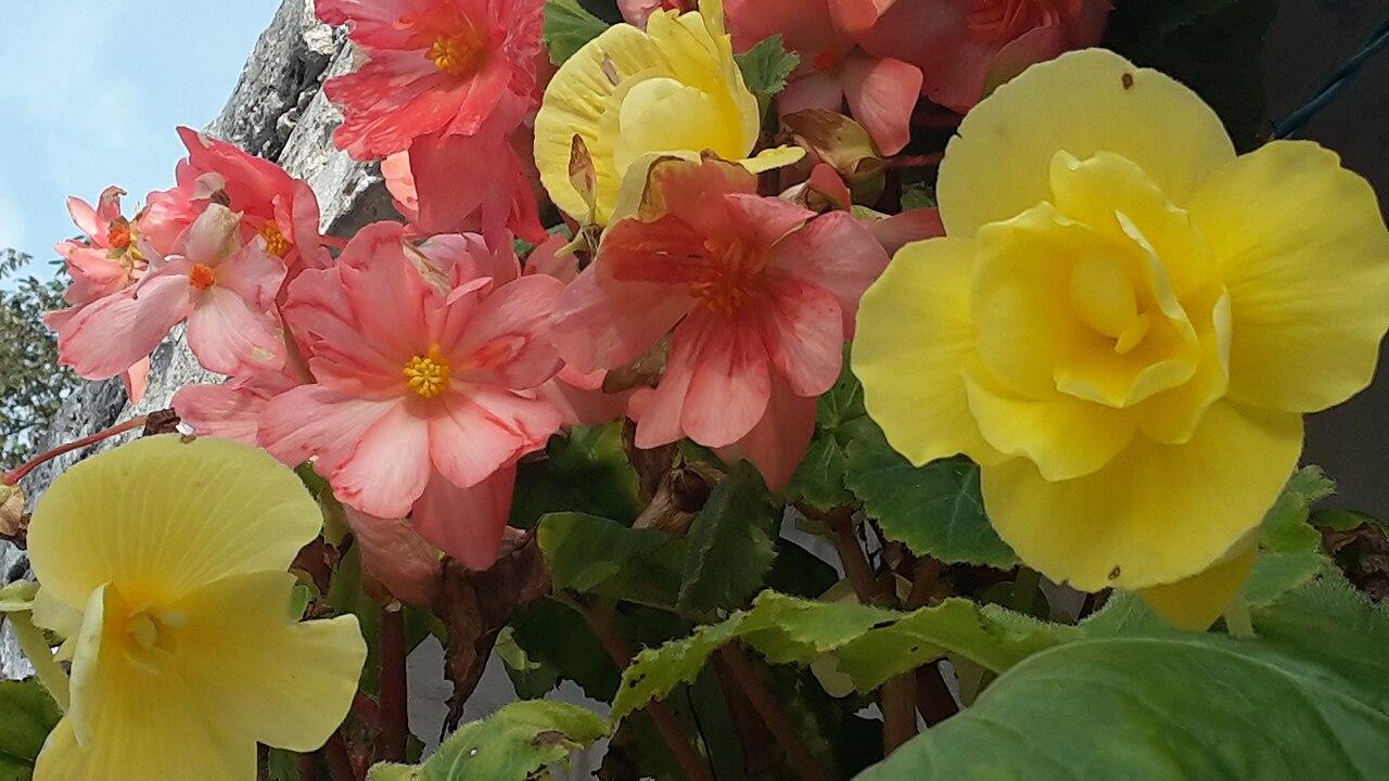 File:Begonia flowers.jpg - Wikimedia Commons