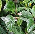 Begonia poculifera.jpg
