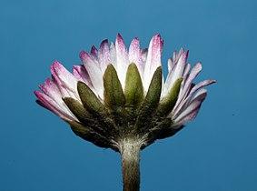 Bellis-perennis-daisy-gaensebluemchen.jpg