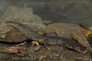 Montseny brook newt Species of salamander