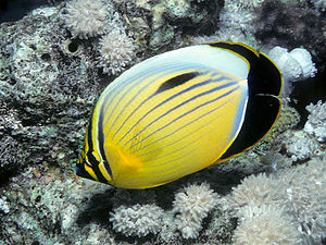 Blacktail butterflyfish - Image: Bep chaetodon austriacus edit