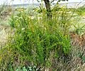 Berberis crataegina - Flickr - brewbooks.jpg