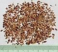 Berzelia abrotanoides seeds II, by Omar Hoftun.jpg
