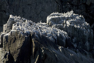 Kittiwake - Black-legged kittiwake colony on Big Koniuji, Shumagin Islands