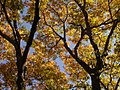 Big Leaf maples, San Bernardino NF (3721660952).jpg