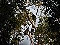 Bird Wreathed Hornbill Rhyticeros undulatus IMG 9195 (10).jpg